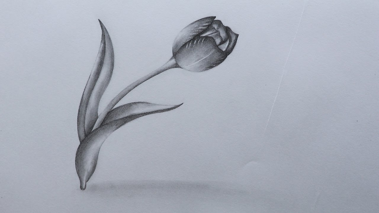 How to sketch a tulip flower