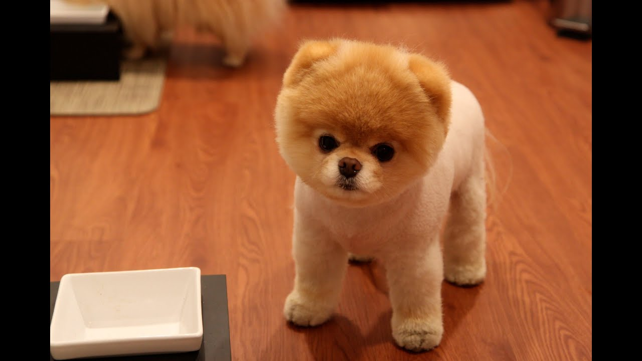 Boo The World S Cutest Dog Greatest Hits