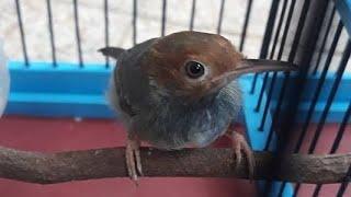 Suara prenjak betina GACOR PIKAT PART 2 | Download MP3 Masteran Burung Perenjak Kepala Merah Klawu
