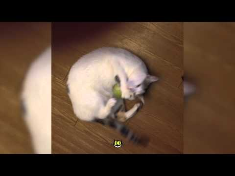 Cute cat plays with tennis ball ||HiCatCute