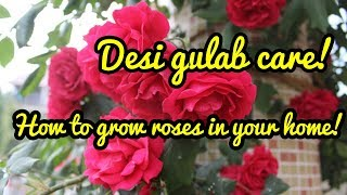 How to care for Rose Plant (Hindi)