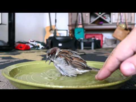 Bath time for Sparky the Sparrow