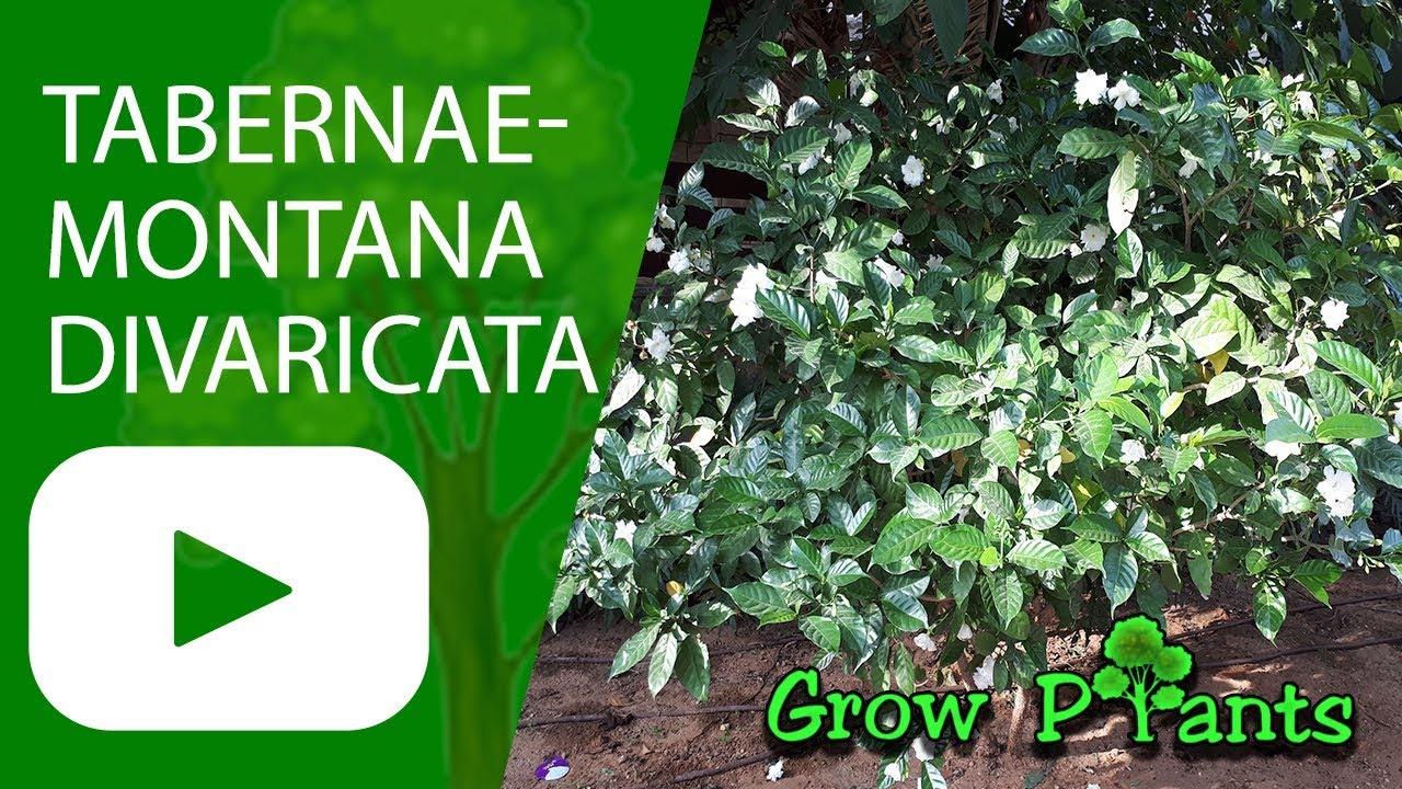 Tabernaemontana Divaricata Grow Care Crape Jasmine Youtube