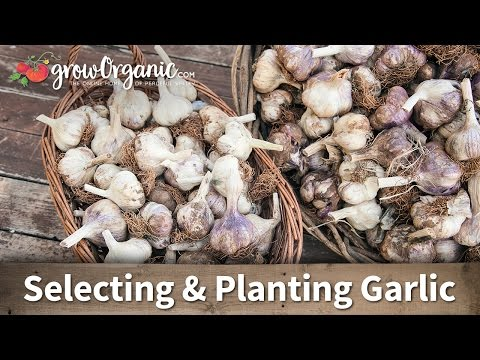 How to Choose the Right Garlic for Your Growing Zone