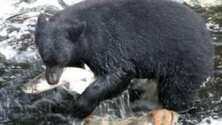 Black Bears Fishing in Alaska