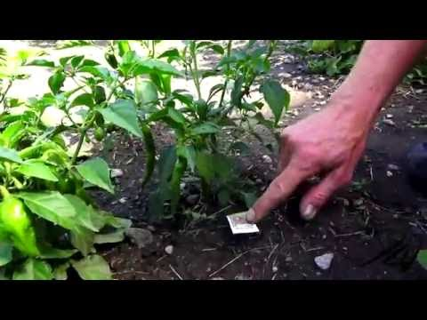 Organic Gardening in Kelowna, British Columbia –  First Week of August 2016 –  YouTube