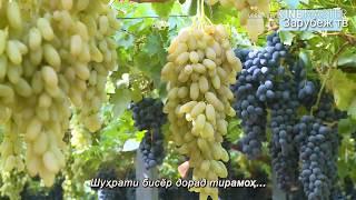 Самый лучший виноград в Таджикистане! 🇹🇯