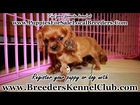 Cavalier King Charles Spaniel, Puppies For Sale, In Knoxville, County, Tennessee, TN, 19Breeders