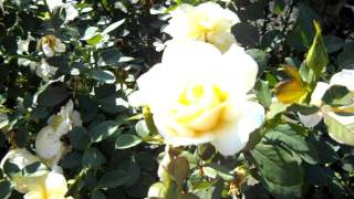 White Licorice Floribunda Rose