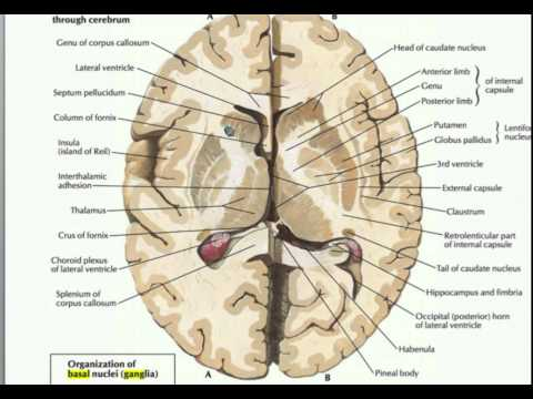 What is the Basal Ganglia?