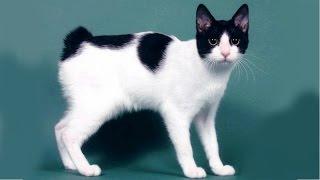 Японский Бобтейл, описние, характер, Породы кошек