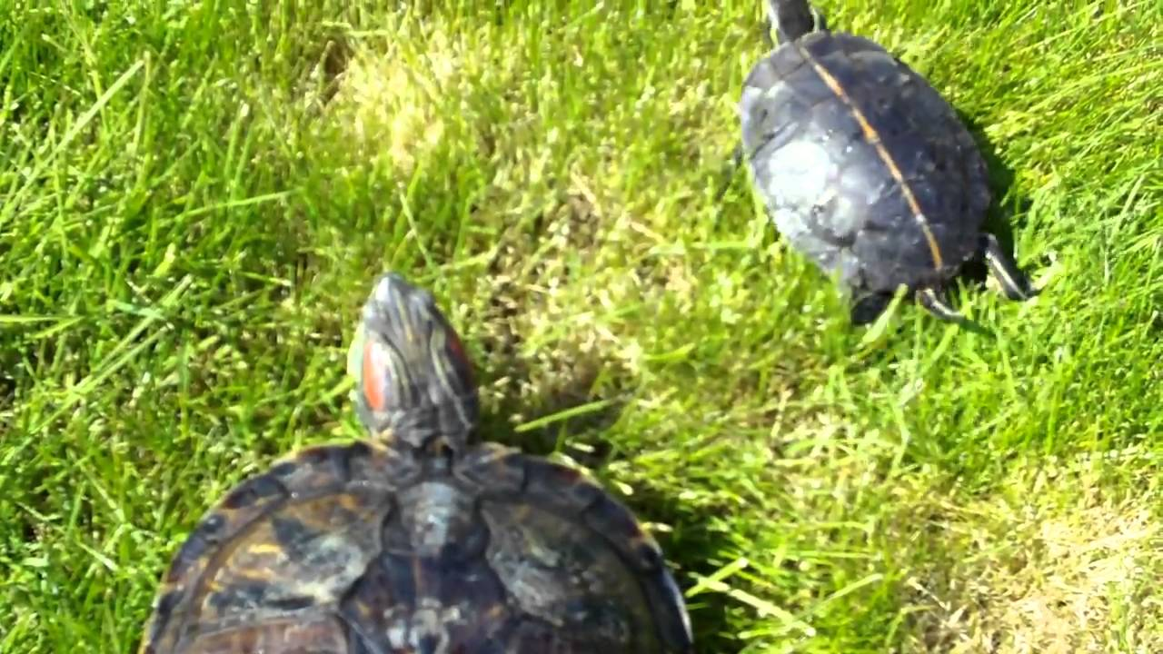 My red eared slider and southern painted turtle youtube my red eared slider and southern painted turtle nvjuhfo Gallery