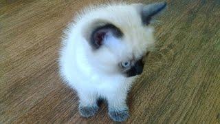Тайская кошечка Сима - добро пожаловать!
