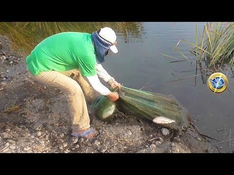 GRANDES Tilapias Pescados con Atarraya