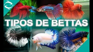 TIPOS DE BETTAS - todas la variedades de peces bettas - Por Aleta y por Color - Lima - Perú
