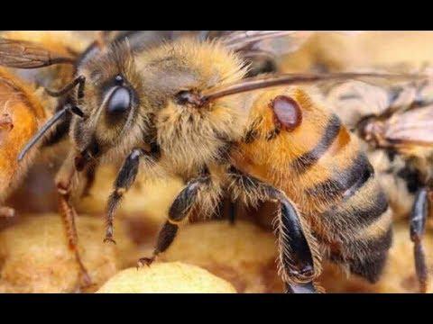 Как лечить пчел от варроатоза видео