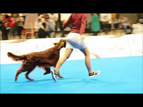 European Dog Show 2018, Irish Setter