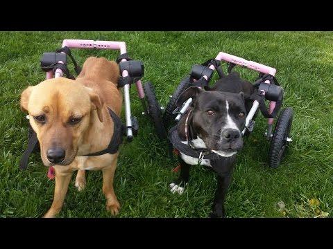 Medium Dog Wheelchair Compilation Video!