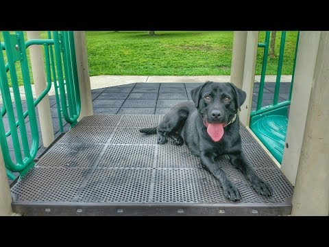 Beau 1 yr old Lab - Dog Training Omaha, Nebraska Lincoln, Nebraska