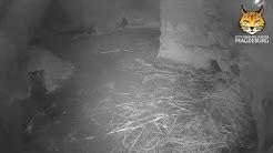 Pinguine im Zoo Magdeburg (Cam 01)