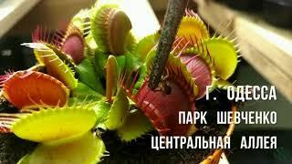 Одесса День независимости Украины 2018 Хищные растения и кактусы. Венерина Мухоловка