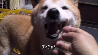 【柴犬ジロー】2019年2月【柴犬ラン】