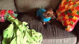My Miniature Dachshund Trying To Take Her Sweater Off :)