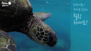 하와이 스노클링 바닷 속에서 거북이와 힐링하기 ASMR…