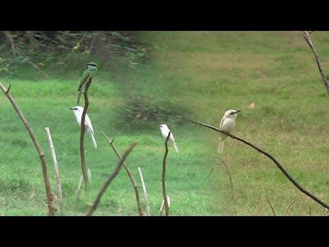 Albino Green beeeater very rare