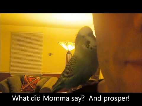 Disco The Talking Parakeet Talks to Daddy