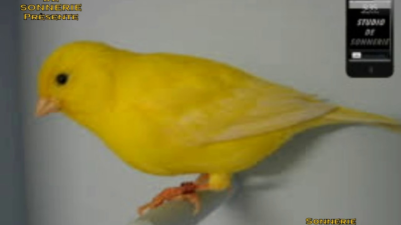 son oiseau canari mp3