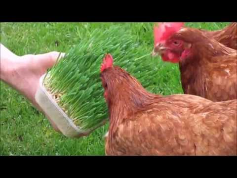My Chickens Enjoying Sprouted Barley for the First Time