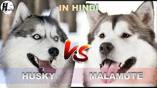 Siberian Husky VS Alaskan Malamute | Hindi | COMPARISON | DOG VS DOG | HINGLISH FACTS