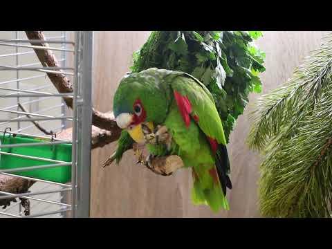 Компаньон для амазона. Осторожно, громко! Новый Год по-птичьи: хвоя, пряные травы в рационе попугая.