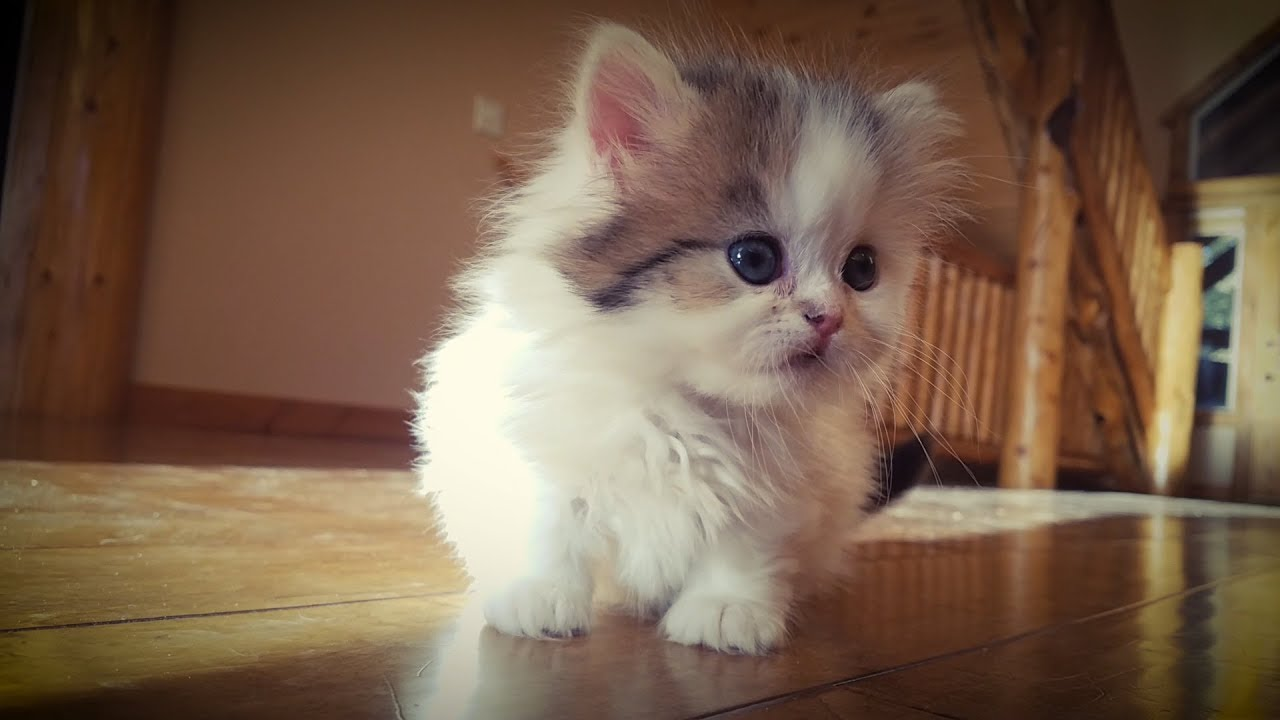 Milo\'s Tiny 5-Week-Old Munchkin Kitten Sister 🐈 - YouTube