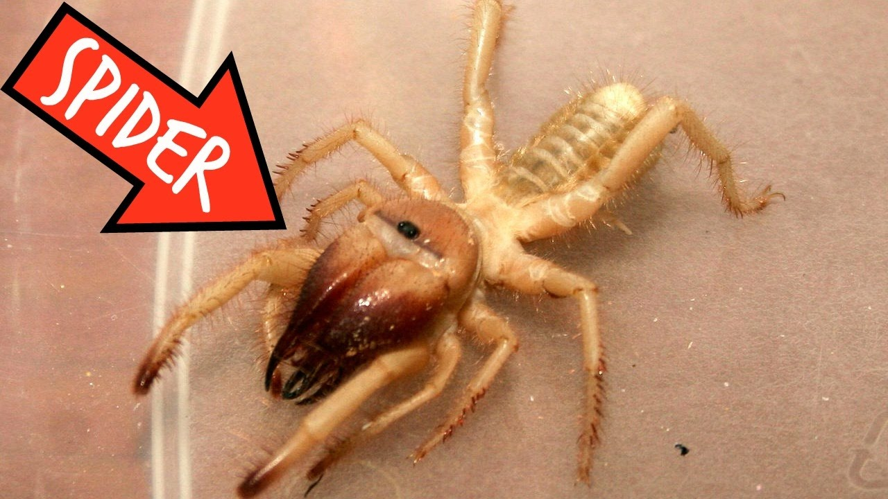 Giant Camel Spiders in...