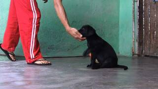 Labrador Retriever Adestramento- Labrador Retriever Training