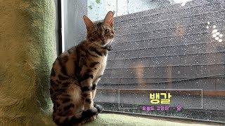 벵갈고양이, 멋진 무늬의 개냥이를 소개합니다.