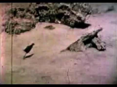 RARE FOOTAGE of the EXTINCT Laysan Rail Bird - Only Footage Ever Recorded 1923