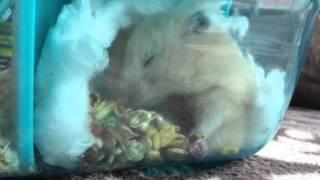 我が家の食いしん坊ハムスターの衝撃映像です!心臓の弱い方はご遠慮く...