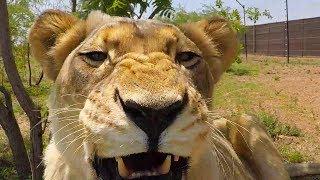 Why I Don't Breed The Lions #AskMeg | The Lion Whisperer