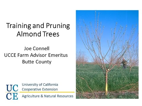 Training and Pruning Almond Orchards