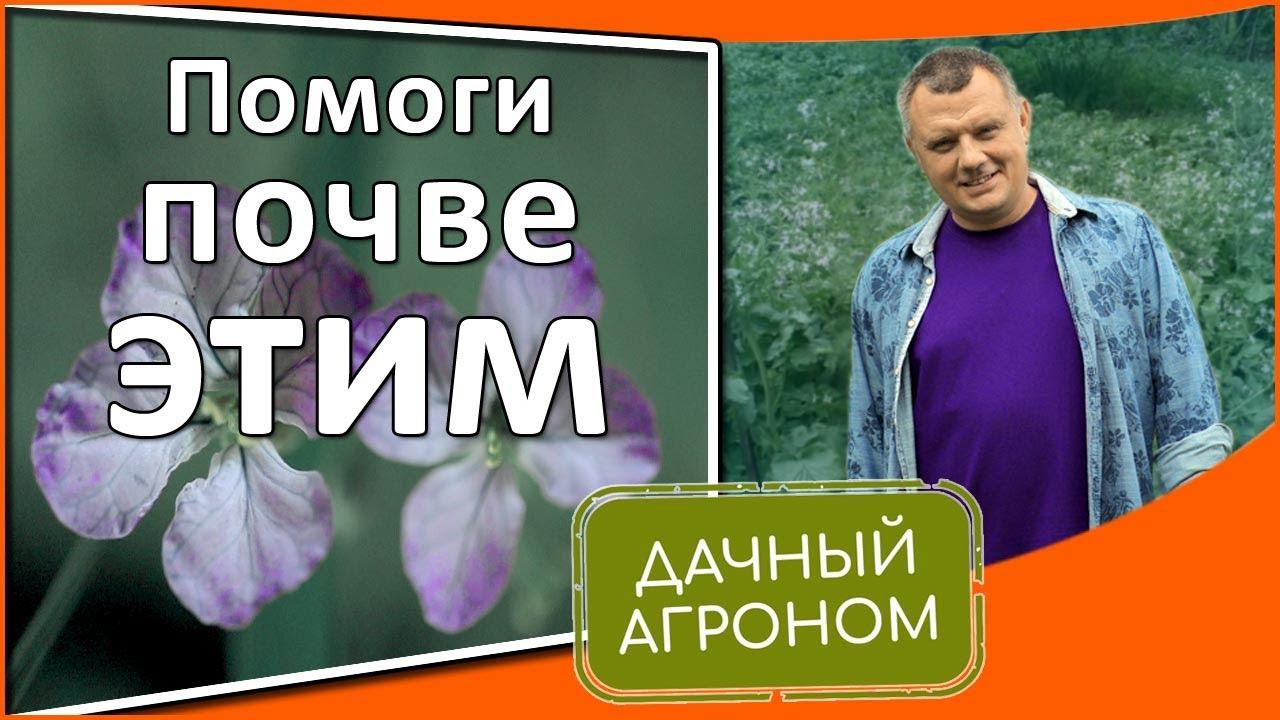 Редька масличная сидерат Все секреты правильного посева и заделки