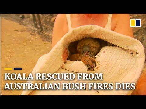 Koala Rescued From Australian Bush Fires Dies