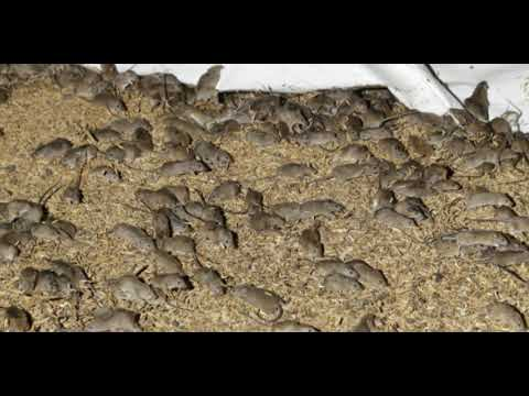 Australia: Farmers Burning Their Crops To Slow Down The Mice Plague