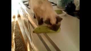 Тайская кошка и кабачок