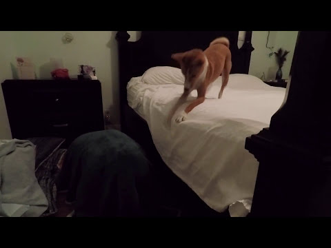 Basenji dog can't find mamma