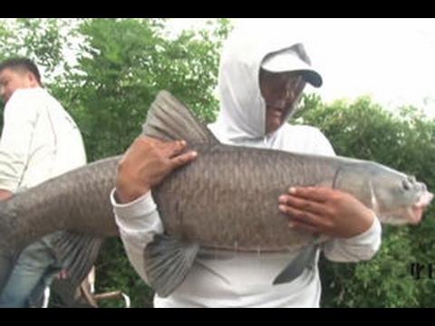 Chinese old man float fishing for huge black carp
