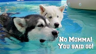 Husky & Malamute Argue With Owner After Jumping In Pool