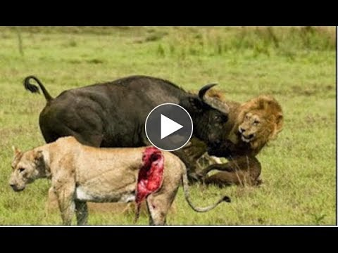 Lion vs Buffalo National Geographic Lion Documentary Nat Geo